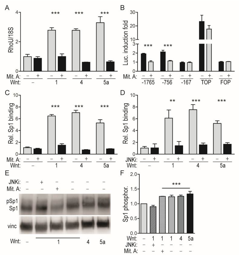 JNK-mediated SP1 recruitment is responsible for RhoU promoter induction by WNT ligands. ( A ) RhoU mRNA levels measured by qRT-PCR in MEF cells stimulated for 24 h with the indicated WNT ligands as described in the legend to Figure 1 , in the presence or absence of the SP1 inhibitor Mithramycin A (Mit. A). Mean ± SEM of the relative expression levels normalized to the 18S rRNA; n = 3. ( B ) The indicated RhoU promoter constructs were transfected in MEF cells as described in the legend to Figure 1 C, followed by WNT1 stimulation in the presence or absence of Mit. A. Data are mean ± SEM of the luciferase induction fold, relative to unstimulated condition. n = 3. ( C , D ) SP1 binding to the RhoU promoter measured by ChIP assay in MEF cells stimulated for 24 h with the indicated WNTs, in the presence or absence of Mit. A ( C ) or of the JNK inhibitor JNKi ( D ). Immunoprecipitated chromatin was analyzed by qRT-PCR, and data (mean ± SEM) obtained upon normalization to total input (T.I.) and IgG. n = 3. ( E ) Western blot showing WNT-dependent increase of phosphorylated SP1 (upper band). MEF cells were stimulated for 24 h with the indicated WNTs, in the presence or absence of Mit. A or JNKi, and analyzed with anti-SP1 antibodies recognizing both the phosphorylated and unphosphorylated forms. Representative of one of four independent experiments. ( F ) Ratio between phosphorylated SP1 and total SP1 signals, expressed as fold induction relative to the unstimulated condition. Mean ± SEM of four independent experiments. ** p