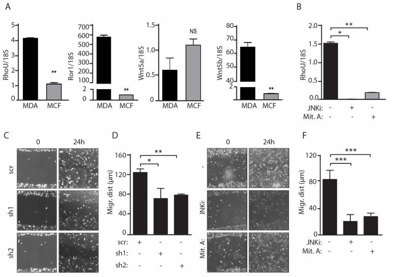Both RHOU expression and JNK and SP1 activities are required for migration of MDA-MB-231 cells. ( A ) qRT-PCR analysis of RHOU, Ror1, Wnt5a and Wnt5b mRNAs in MDA-MB-231 and MCF-7 cells. ( B ) RHOU mRNA downregulation in MDA-MB-231 cells treated with the JNK or SP1 inhibitors (JNKi, Mit. A). Data are mean ± SEM of the relative expression levels, normalized to 18S rRNA. ( C – F ) Wound healing assays. MDA-MB-231 cells were infected with lentiviral vectors expressing two distinct RHOU shRNAs or a scrambled control (sh1, sh2, scr) ( C , D ), or treated with the JNK or SP1 inhibitors (JNKi, Mit.A) ( E , F ), and migration was assessed by in vitro wound healing assays. The phase contrast pictures (C ,E ) are representative of three independent experiments (Field of View: 895 × 671 µm). Migrating distance ( D , F ) was calculated as described in the Materials and Methods, and shown as mean ± SEM. n = 3. * p