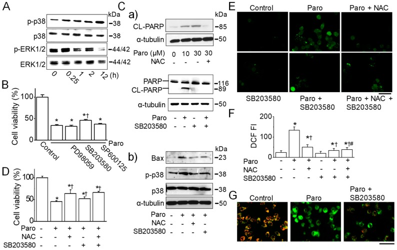 Paroxetine-induced apoptosis and ROS generation are mediated by p38 activation. ( A ) Effect of paroxetine on the phosphorylation of MAPK. MCF-7 was treated with 30 μM paroxetine for the indicated time periods. Activated p38 MAPK (p-p38) and ERK (p-ERK) were detected in immunoblots using antibodies specific for the phosphorylated form of each kinase. The same blot was stripped and used to determine the amount of each kinase; ( B ) Effect of MAPK inhibitors on paroxetine-induced cell death. Cells were pretreated with 10 μM SB203580, 10 μM PD98059, or 10 μM SP600125 for 30 min before 12 h treatment with 30 μM paroxetine. Cell viability was determined by an MTT assay. ( Ca , Cb ) Effect of NAC and SB203580 on PARP cleavage ( Ca ) and p38 activation ( Cb ). Protein extracts were prepared after treatment with or without 10 μM SB203580 and 3 mM NAC for 30 min, followed by treatment with or without 10 μM or 30 μM paroxetine for 12 h. Immunoblotting assays were performed with antibodies against PARP, cleaved PARP, Bax, p-p38, p38, and α-tubulin; ( D ) Effect of SB203580 and NAC on paroxetine-induced cell death. Cells were pretreated with 10 μM SB203580 and 3 mM NAC for 30 min before 12 h treatment with 30 μM paroxetine. Cell viability was determined by an MTT assay; ( E , F ) Reduction of ROS in MCF-7 cells by pretreatment with NAC, SB203580, or NAC and SB203580. MCF-7 cells were incubated with the ROS indicator H 2 DCFDA and then pretreated with 10 μM SB203580 and/or NAC for 30 min before 3 h treatment with 30 μM paroxetine. The changes in ROS levels in the cells were analyzed using fluorescence microscopy ( E ) and quantified ( F ); ( G ) Reduction in MMP depolarization in MCF-7 cells by SB203580. Cells were incubated with a specific MMP dye, <t>JC-1,</t> in the presence or absence of paroxetine and/or SB203580. The cells were exposed to paroxetine and/or SB203580 for 3 h. SB203580 pretreatment was performed before 30 min of paroxetine treatment. Green and red indicate JC
