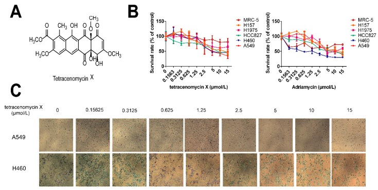 Tetracenomycin X selectively inhibits the cell proliferation of lung cancer cells. ( A ) The structure of tetracenomycin X. ( B ) The proliferative activity of the five lung cancer cells and lung fibroblasts after being treated with tetracenomycin X and Adriamycin (0.1563, 0.3125, 0.625, 1.25, 2.5, 5, 10 and 15 µmol/L) for 24 h was assessed by sulforhodamine B (SRB) assay. The survival rates were calculated as a ratio compared with the control group (untreated cells). The values represent the mean ± SD of three independent samples. Each experiment was repeated three times under each condition. ( C ) The cell morphology of the A549 and H460 cells under a 4 *0.1 microscope after treatment with tetracenomycin X for 24 h.