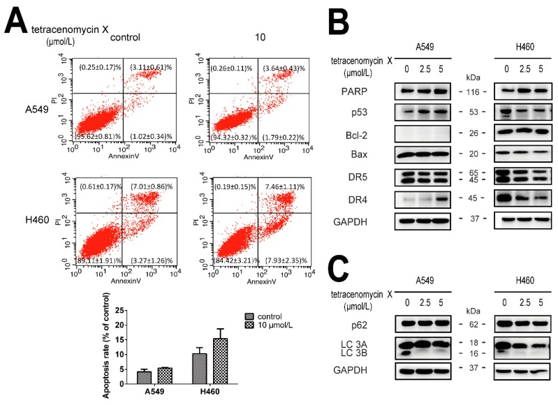 The antitumour activity of tetracenomycin X is independent of apoptosis and autophagy. ( A , C ) The A549 and H460 cells were treated with tetracenomycin X (2.5 and 5 µmol/L) for 8 h. The expression levels of the proteins were determined using western blotting. ( B ) The A549 and H460 cells were treated with tetracenomycin X (10 µmol/L) for 24 h. Apoptosis was detected by annexin V-FITC/PI staining and flow cytometry analysis.