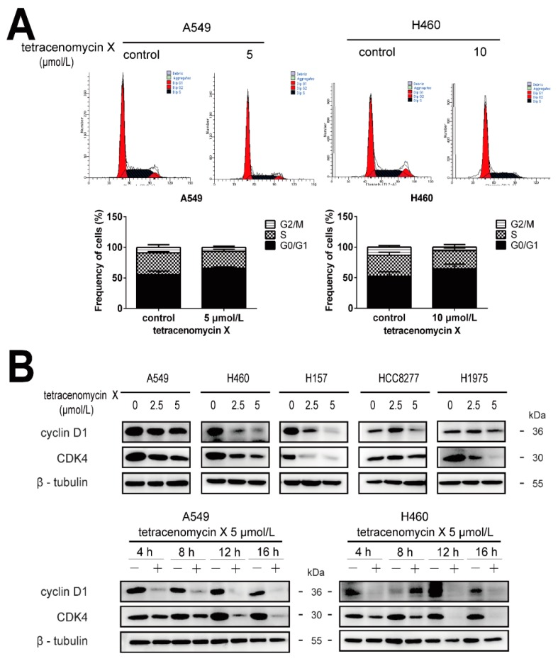 Tetracenomycin X-induced cell cycle arrest in the G0/G1 phase and decreased the expression levels of cell cycle-related proteins in the lung cancer cells. ( A ) the A549 and H460 cells were treated with tetracenomycin X (5 or 10 µmol/L) for 16 h. The cell cycle was detected by flow cytometry analysis. ( B ) The A549 and H460 cells were treated with tetracenomycin X for the indicated times or treated with various concentrations of tetracenomycin X for 8 h. The expression levels of proteins were determined using western blotting.