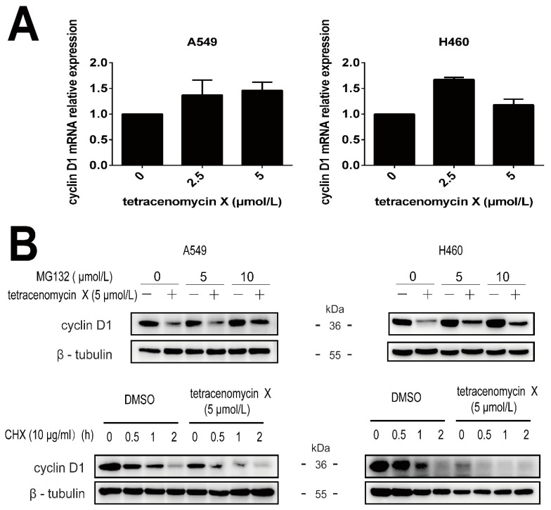 Tetracenomycin X induces the proteasomal degradation of cyclin D1. ( A ) RT-PCR analysis of the gene expression of cyclin D1 in the A549 cells and H460 cells. ( B ) The A549 cells and H460 cells were pre-treated with MG132 at the indicated concentration for 2 h and then co-treated with tetracenomycin X (5 µmol/L) for 12 h. The A549 cells and H460 cells were pre-treated with DMSO or tetracenomycin X (5 µmol/L) and then co-treated with 10 μg/mL of cycloheximide (CHX) for the indicated times.