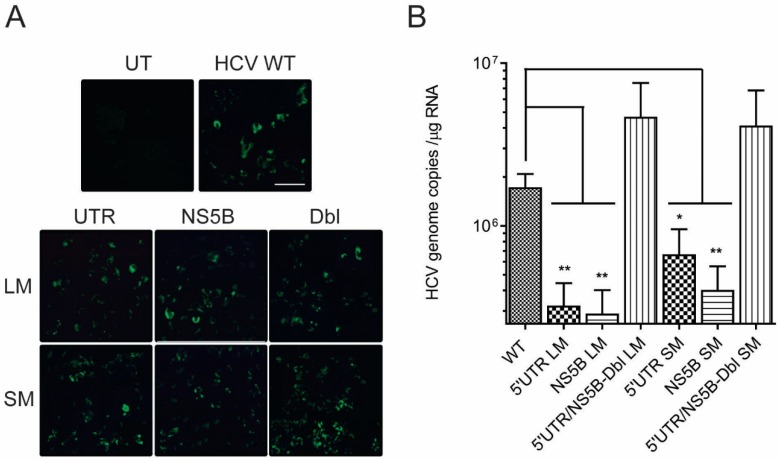 Disruption in the 5′UTR nt95–110:NS5B nt8528–8543 duplex reduces intracellular <t>HCV</t> <t>RNA</t> levels. ( A ) Huh-7.5 cells transfected with HCV genomic RNA (WT) or HCV genomic RNA containing mutations at 5′UTR nt 95–110 and NS5B nt 8528–8543 express NS5B antigen 24 h post-transfection. Scale bar = 50 µm. ( B ) Plots represent the average number of HCV RNA genome copies ± SE in 1 μg of cellular RNA at 48 h post-transfection. p -values ≤ 0.05 (*) or ≤ 0.01 (**) were determined by the Student's t -test and represent four or more independent experiments.