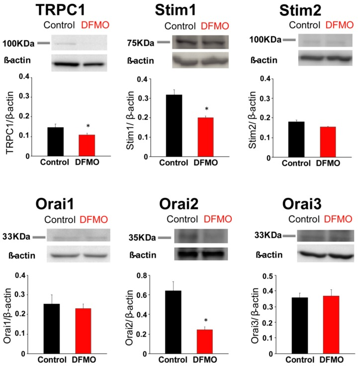 Effects of DFMO on the expression of proteins involved in SOCE in colon cancer HT29 cells. HT29 cells were treated with vehicle (control) or DFMO 5 mM, and then cells were lysed and subjected to Western blotting with antibodies against TRPC1, STIM1, STIM2, ORAI1, ORAI2 and ORAI3, followed by reprobing with anti-β-actin antibody for protein loading control. Bar graphs represent specific protein expression normalized to the β-actin content. Data are from n = 3 experiments (* p