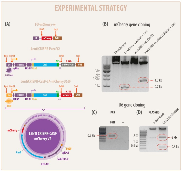 A simplified diagram of the development of a new clustered regularly interspaced short palindromic repeats/CRISPR-associated protein 9 (CRISPR Cas9) vector in fish cells. ( A ) In the left panel and in colors are represented the names and sizes of the regulatory elements including RNA pol III U6 (U6), short EF1alpha (EFS-NS) promoter, small guide RNA (sgRNA), the antibiotic resistance cassette (puromycin), and the mCherry gene. The novel fish U6 promoter (zebrafish U6 RNA III polymerase (U6ZF) ligated in the new vector is represented in yellow. In orange are highlighted the recognition sequences of the restriction enzymes used in this work ( Bsi WI, Sac II, Kpn I, and BsmB I, respectively). Arrows indicate the downstream activity of U6ZF (yellow) and EFS-NS (violet) promoters. Note that lentiviral elements were omitted in this representation. ( B ) Molecular characterization and isolation of mCherry gene from FU-mCherry-w plasmid (lane 1). In lane 2, a single 0.7 kb fragment (red frame) corresponding to the mCherry sequence was obtained by double digestion (BsiWI and SacII). Lane 3 represents the LentiCRISPR-Cas9 PuroV2 (14 kb) vector, whereas the isolation and removal of puromycin cassette 1.3 kb fragment (red frame) was obtained using the same enzymes mentioned above. ( C ) PCR product of U6 promoter from zebrafish genomic DNA; and ( D ) the new vector LcU6ZF containing the new fish promoter (0.3 kb) highlighted in red, as well as filler fragment (2 kb).