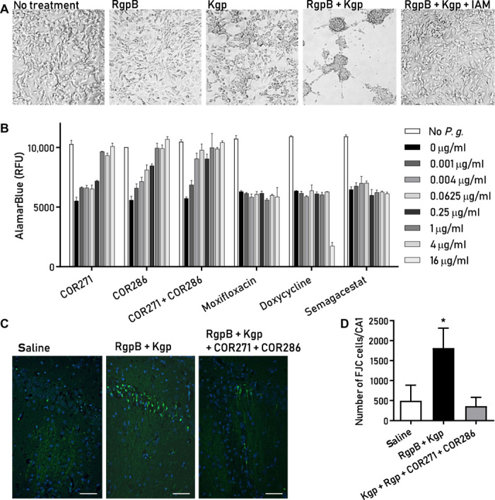 Small-molecule gingipain inhibitors protect neuronal cells against P. gingivalis – and gingipain-induced toxicity in vitro and in vivo. ( A ) Differentiated SH-SY5Y neuroblastoma cells demonstrate cell aggregation after exposure to RgpB (10 μg/ml), Kgp (10 μg/ml), or both for 24 hours. The nonselective cysteine protease inhibitor iodoacetamide (IAM) blocks the gingipain-induced cell aggregation. ( B ) AlamarBlue viability assay shows that P. gingivalis ( P.g. ) is toxic to SH-SY5Y cells (MOI of 400) and that the small-molecule Kgp inhibitor COR271 and the RgpB inhibitor COR286 provide dose-dependent protection. The broad-spectrum antibiotics moxifloxacin and doxycycline and the γ-secretase inhibitor semagacestat did not inhibit the cytotoxic effect of P. gingivalis . ( C ) Fluoro-Jade C (FJC) staining (green) in pyramidal neurons of the CA1 region of the mouse hippocampus indicates neurodegeneration after stereotactic injection of gingipains. Counterstain with 4′,6-diamidino-2-phenylindole (DAPI) (blue). Scale bars, 50 μm. ( D ) The total number of FJC-positive cells was determined from serial section through the entire hippocampus. Results demonstrate a significant neuroprotective effect of gingipain inhibitors COR271 + COR286 after acute gingipain exposure in the hippocampus (* P