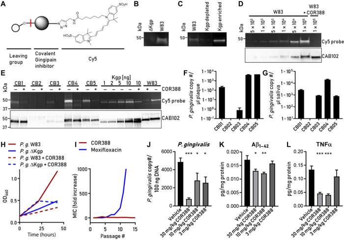 COR388 target engagement and dose-dependent effects on brain P. gingivalis , Aβ 1–42 , and TNFα in mice. ( A ) COR553 fluorescent activity probe for Kgp. ( B ) COR553 labeling of Kgp in P. gingivalis W83 strain and no labeling in mutant deficient in Kgp (ΔKgp). ( C ) W83 lysates labeled with COR553. Left lane, before immunodepletion; middle lane, after immunodepletion with anti-Kgp–conjugated beads; right lane, after elution from anti-Kgp–conjugated beads. ( D ) W83 strain titrated and labeled with COR553 to determine the limit of bacterial detection. See Results for details. ( E ) Oral plaque samples from human subjects (CB1-5) with periodontal disease were incubated ex vivo with COR553 probe with or without preincubation with COR388. COR553 probe and CAB102 detected Kgp strongly in three subjects (CB1, CB4, and CB5) and weakly in one subject (CB3). COR388 preincubation blocked COR553 probe binding to Kgp. ( F ) <t>qPCR</t> analysis of plaque samples using hmuY gene–specific primers identified P. gingivalis <t>DNA</t> in samples. ( G ) qPCR analysis of saliva samples. The bar graphs in (F) and (G) show the means and SEMs of three replicates. ( H ) COR388 treatment of W83 culture in defined growth medium reduced growth similarly to a Kgp-deficient strain (ΔKgp) over 43 hours. ( I ) Resistance developed rapidly to moxifloxacin but not COR388 with repeat passaging of bacterial culture. ( J to L ) Efficacy of COR388 at three oral doses of 3, 10, and 30 mg/kg twice daily in treating an established P. gingivalis brain infection in mice. Reduction of brain tissue levels of P. gingivalis (J), Aβ 1–42 (K), and TNFα (L). The bar graphs show the means with SEM error bars. *** P
