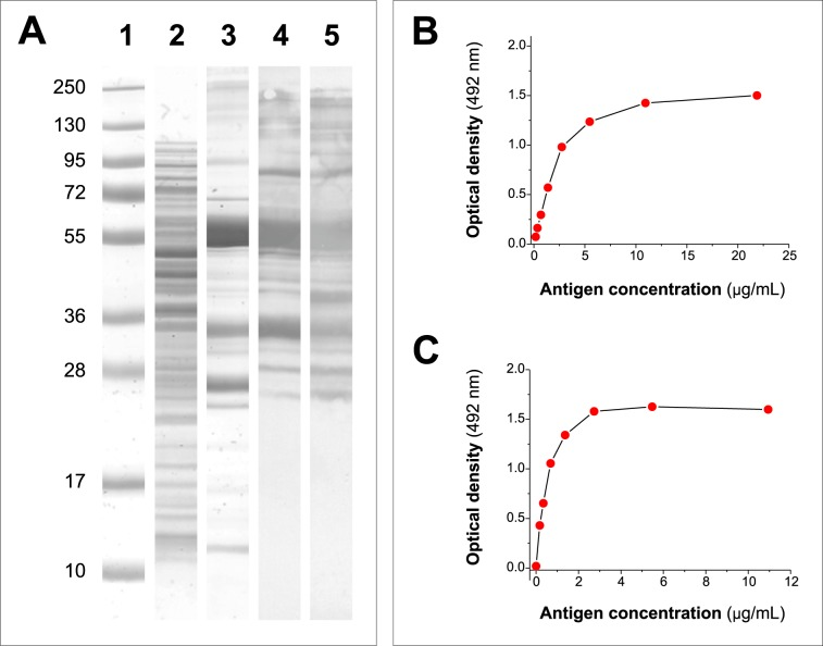 Analysis of the expression of the chimeric recombinant protein rUS9-FhLAP in E . coli and optimization of its use in ELISA. (A) SDS-PAGE and WB analysis of rUS9-FhLAP expression. Lane 1: MW markers. Lane 2: Coomasie blue staining of the soluble protein fraction obtained after induction with 0.5 mM IPTG. Lane 3: Coomasie blue staining of rUS9-FhLAP after purification by IMAC. Lane 4: WB analysis of rUS9-FhLAP revealed with mAb US9 as primary antibody. Lane 5: WB analysis of rUS9-FhLAP revealed with HRP-conjugated anti-polyhistidine. (B) ELISA OD values obtained testing different concentrations of rUS9-FhLAP (range: 0.7–22 μg/mL) as target antigen in capture ELISA with mAb US9. (C) ELISA OD values obtained testing different concentrations of rUS9-FhLAP (range: 0.3–11 μg/mL) as target antigen in indirect ELISA. The analysis was carried out with a serum from a Fasciola -infected sheep as primary antibody.