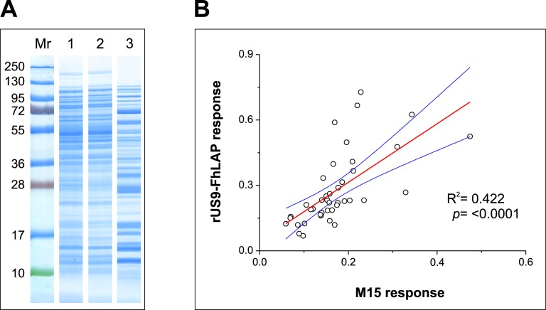 Analysis of soluble E . coli proteins binding to Nickel Affinity Gel columns. (A) SDS-PAGE analysis of M15 E . coli soluble proteins present in the starting sample (lane 1), in the non-retained fraction (lane 2), and in the eluted fraction (lane 3, concentrated). The relative mobility of MW standards is shown on the left. (B) Least squares linear regression analysis comparing OD values obtained in indirect ELISA for sera from non-infected cattle (n = 35) using as target IMAC-purified proteins from non-transformed (M15 response; X-axis) or transformed (rUS9-FhLAP response; Y-axis) M15 E . coli cells. Each point represents the paired OD values obtained for each serum in the indirect ELISAs. Blue lines represent the 95% upper and lower confidence levels.