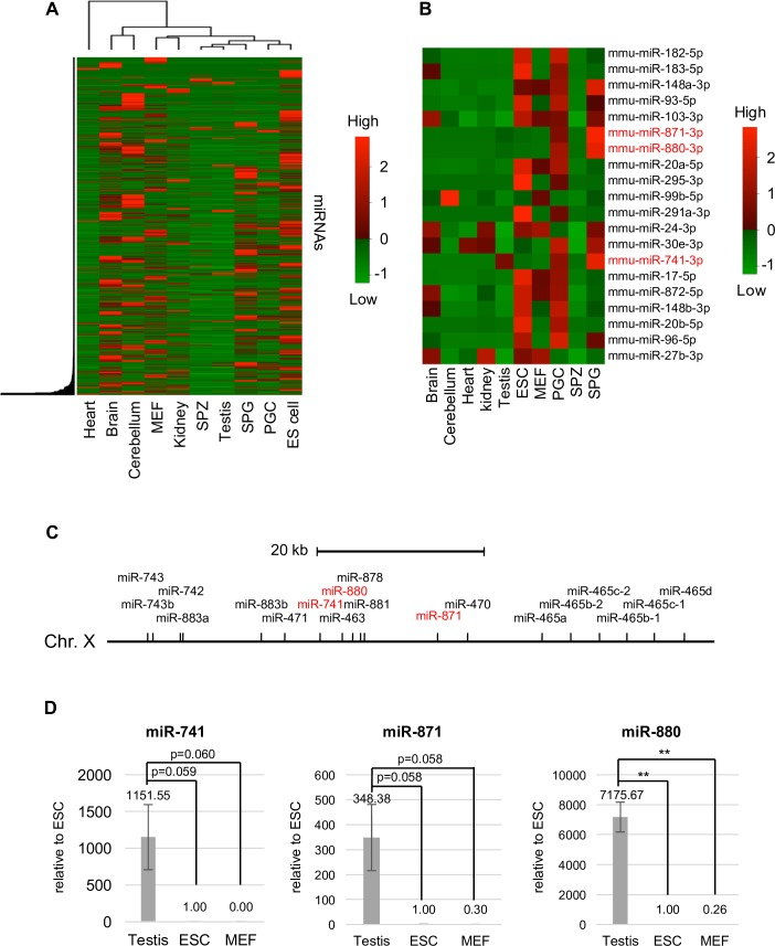 The expression profile of miRNAs in various tissues and cell lines. (A) A heat map of hierarchical clustering of miRNAs detected in small RNA-seq data used in this study. (B) A heat map of 20 miRNAs highly expressed in PGCs. Relative miRNA expression is described according to the color scale. Red and green indicate high and low expression, respectively. Mouse embryonic fibroblasts (MEFs), embryonic stem (ES) cells, primordial germ cells (PGCs), spermatogonia (SPG), spermatozoa (SPZ). (C) The locus of XmiR genes on the X chromosome. (D) The expression of XmiRs in testes, ES cells, and MEFs determined by quantitative RT-PCR. Each expression level was normalized to the expression of U6 snRNA. The expression in ES cells was set as 1.0. Error bars show standard errors of three biological replicates. **P