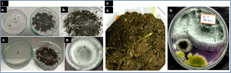 Isolation of T. asperellum from soil. ( i ) Mosquito baiting technique a. Inoculation of dead adult mosquito b. Growth of fungus upon mosquitoes c. Transfer of fungi infected mosquitoes to a petridish containing PDA d. Growth of fungus in PDA medium. ( ii ) Soil dilution technique a. Soil sample b. Growth of several fungal colonies in the soil dilution plate.