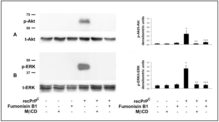 Effect of lipid rafts perturbation on Akt and ERK Phosphorylation induced by recPrP C . hDPSCs, untreated or treated with 0.5 µg/mL of recPrP C for 10 min in the presence or in the absence of Fumonisin B1 or MβCD, were analyzed by Western blot using anti-pAkt and anti-total Akt ( A ). anti-pERK1/2 and anti-total ERK1/2 ( B ). Densitometric analysis is shown in the right panel. Results represent the mean ± SD from 3 independent experiments, * p recPrP C treated cells