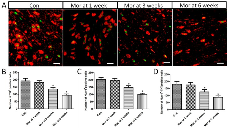 ( A ) Representative images showing the co-localization of Nurr1 and TH positive cells expression in the VTA. Bars = 25 μm. ( B – D ) Quantitative analysis of TH + , Nurr1 + and Nurr1 + -TH + positive cells. The data are shown as mean ± SEM, * P