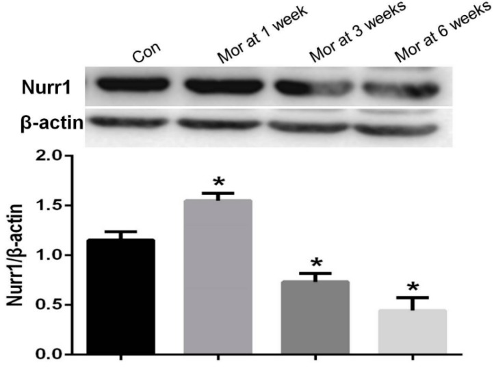 Western blot analysis of Nurr1 expression in the VTA. The relative level of Nurr1 in the VTA after one week of morphine exposure increased compared with the control group ( P
