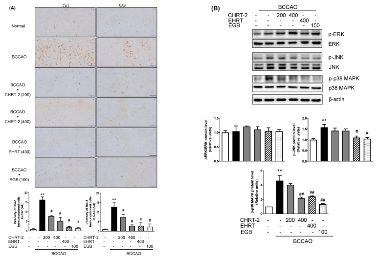 Effect of HRT on inflammatory responses in the BCCAO-induced VaD rats. ( A ) Immunohistological analysis was carried out to examine the expression of ionized calcium binding adaptor molecule 1 (Iba-1), a microglial marker, in the hippocampus of BCCAO rats. Representative photomicrographs are shown at magnifications of 400×. The immunohistochemical signal intensity was calculated in a brain tissue section from each rat using Image J software. The staining intensity results are reported in arbitrary units (AU). ( B ) Hippocampal tissues were lysed and subjected to Western blotting for detecting phosphorylated mitogen-activated protein kinases (MAPKs) including extracellular signal-regulated kinase (ERK), c-Jun N-terminal kinase (JNK), and p38 MAPK. Expression levels were normalized to the expression of actin. Data are presented as means ± SEM ( n = 8); ** p