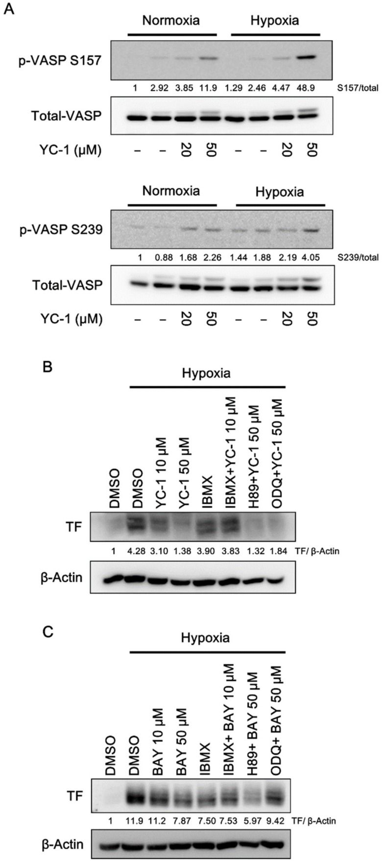YC-1 activates cyclic nucleotide-dependent protein kinases in A549 cells. ( A ) A549 cells were pretreated with YC-1 for 1 h and incubated under normoxia or hypoxia for another 1 h. Cell lysates were subjected to Western blotting for phospho-VASP. ( B , C ) A549 cells were pretreated with the PDE inhibitor IBMX (100 μM), the sGC inhibitor ODQ (10 μM), or the <t>PKA</t> inhibitor <t>H89</t> (5 μM) for 30 min, then treated with YC-1 or BAY 41-2272 (BAY) for 1 h and incubated under hypoxia for another 24 h. TF expression was determined by Western blotting.