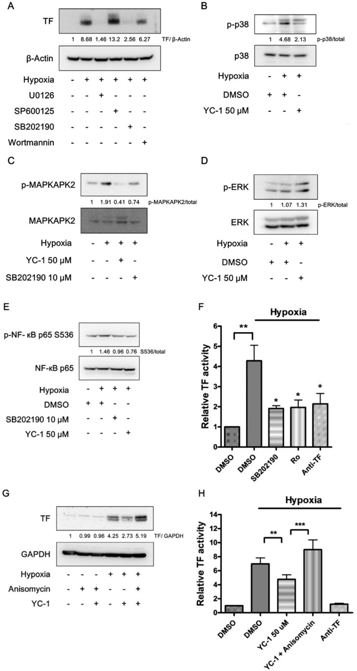 YC-1 prevents hypoxia-induced TF through inhibition of the p38/NF-κB pathway. ( A ) Effects of specific inhibitors of MAPKs and Akt on hypoxia-induced TF expression. A549 cells were treated with U0126 (10 μM), SP600125 (10 μM), SB202190 (10 μM), and wortmannin (0.1 μM) for 1 h, and exposed to hypoxia for 24 h. Cell lysates were subjected to Western blotting for TF. ( B , C ) YC-1 inhibits hypoxia-stimulated p38 activation. Cells pretreated with YC-1 were exposed to hypoxia for 15 min ( B ) or 2 h ( C ). Cell lysates were subjected to Western blotting for p38 and MAPKAPK2. ( D ) The effect of YC-1 on ERK activation in hypoxic conditions. A549 cells were treated as in ( B ), and the cell lysates were subjected to Western blotting for ERK. ( E ) The p38 inhibitor prevents hypoxia-induced NF-κB activation. A549 cells treated with SB202190 (10 μM) or YC-1 (50 μM) were exposed to hypoxia for 2 h. Cell lysates were subjected to Western blotting for NF-κB. ( F ) The p38 and NF-κB inhibitors prevent hypoxia-induced TF activity. A549 cells treated with SB202190 (10 μM) or Ro 106-9920 (10 μM) were exposed to hypoxia for 24 h, then the TF-dependent factor Xa generation was determined. Data are presented as mean ± SEM ( n = 3). * = p