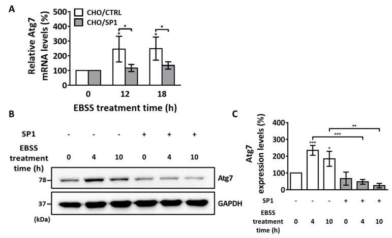 The mRNA and protein levels of the key regulator ATG7 during EBSS-induced autophagy. ( A ) Quantitative PCR analysis of ATG7 mRNA levels in the CHO/CTRL and CHO/SP1 cells treated with EBSS for 0, 12, and 18 h. ( B ) Western blotting analysis of ATG7 protein levels in the CHO cells treated with EBSS for 0, 4, and 10 h. GAPDH was used as an internal control ( C ) Quantitative analysis of the results of Western blot analysis shown in ( B ) for ATG7 levels normalized using the GAPDH levels. Statistical analysis of data obtained from three independent experiments was performed using GraphPad Prism 7.0 software and ImageJ 1.43. All values are represented as mean ± SD (* p