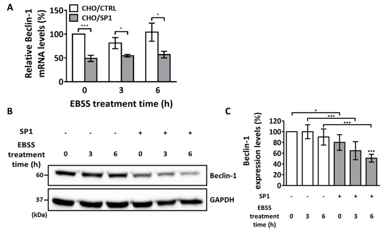 The mRNA and protein levels of Beclin-1 after the EBSS treatment. ( A ) Quantitative PCR analysis of Beclin-1 mRNA levels in the CHO/CTRL and CHO/SP1 cells treated with EBSS for 0, 12, and 18 h. ( B ) Western blotting analysis of Beclin-1 protein levels in the CHO cells treated with EBSS for 0, 4, and 10 h. GAPDH was used as an internal control. ( C ) Quantitative analysis of the results of Western blotting analysis shown in ( B ) for Beclin-1 levels normalized using the GAPDH levels. Statistical analysis of data obtained from three independent experiments was performed using GraphPad Prism 7.0 software and ImageJ 1.43. All values are represented as mean ± SD (* p