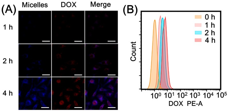 ( A ) Confocal laser scanning microscope (CLSM) images of HepG2 cells after incubation with DCBMs for 1 h, 2 h, and 4 h. DOX exhibited red fluorescence, and BPLP segments showed blue fluorescence. The scale bars correspond to 30 μm in all the images. ( B ) Flow cytometry analysis of cellular uptake.