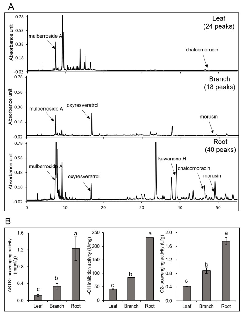 Analysis of the metabolites in Morus leaf, branch, and root and their antioxidant activities. The methanol extracts from Morus leaf, branch, and root were analyzed by HPLC ( A ). A C18 column was used with a flow rate of 1 mL min −1 . The peaks were determined at a wavelength of 320 nm. For the determination of the antioxidant activities of Morus leaf, branch, and root, ABTS + scavenging, hydroxyl free radical, and O 2 − scavenging activities were analyzed ( B ). The data are shown as the mean ± SD from three independent biological replicates. Means with the same letter are not significantly different according to the one-way ANOVA test ( p