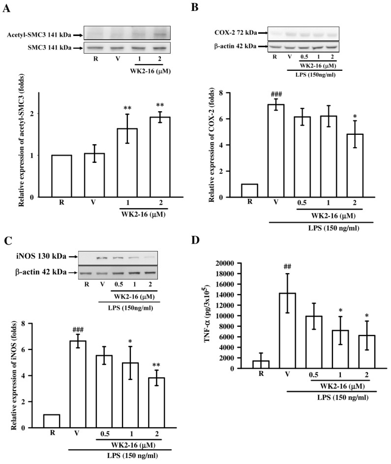 WK2-16 decreased inflammatory enzymes and TNF-α production in LPS-stimulated BV-2 microglial cells. ( A ) BV-2 cells were incubated with WK2-16 for 2 h, and the acetylation level of SMC3 was determined using Western blotting. ( B , C ) BV-2 cells were pretreated with vehicle (DMSO) or WK2-16 (0.5, 1, and 2 µM) for 30 min followed by LPS (150 ng/mL) stimulation for 24 h. The expression of COX-2 and iNOS in LPS-stimulated BV-2 cells in the presence or absence of WK2-16 was examined using Western blotting. β-actin was used as the internal control. ( D ) TNF-α levels in conditioned media of cultured BV-2 microglial cells were measured using ELISA. Values are presented as the means ± SD from three independent experiments. R: resting; V: vehicle. ## p