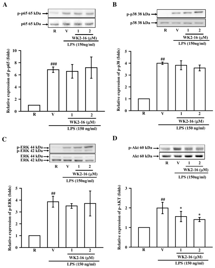 The effects of WK2-16 on LPS-activated pathway signaling in microglial BV-2 cells. Microglial BV-2 cells were pretreated with vehicle (DMSO) or WK2-16 (1 and 2 μM) followed by LPS (150 ng/mL) stimulation for the indicated time. Phosphorylated levels of p65 (A), p38 (B), ERK (C), and Akt (D) in LPS-stimulated BV-2 cells treated with various concentration of WK2-16 were examined using Western blotting. Values are presented as the means ± SD from 3 independent experiments. R: resting; V: vehicle. p-p65: phosphorylated p65; p-p38: phosphorylated p38; p-ERK: phosphorylated ERK; p-AKT: phosphorylated AKT. ## p