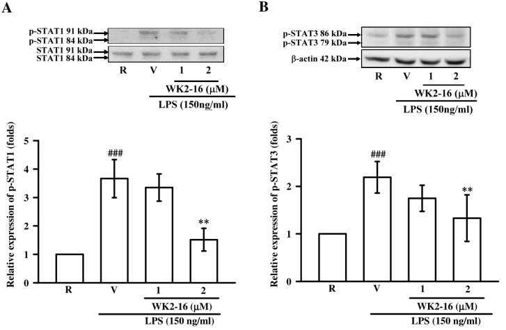 WK2-16 inhibited the activation of STAT-1/-3 in LPS-stimulated microglial BV-2 cells. Microglial BV-2 cells were pretreated with the vehicle (DMSO) or WK2-16 (1 and 2 μM) followed by stimulation with LPS (150 ng/mL) for 3 h. Phosphorylated STAT-1 ( n = 3) and STAT-3 ( n = 4) were evaluated using Western blotting. The detection of STAT-1 and β-actin were used as the internal controls. R: resting; V: vehicle; p-STAT1: phosphorylated STAT-1; p-STAT3: phosphorylated STAT-3. ### p