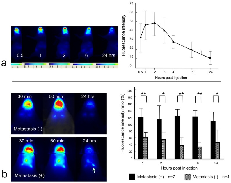 Dynamic imaging study. ( a ) NIR images showed changes in the signal from the anti-EGFR affibody probe in the lymph nodes of a normal control mouse (left). The fluorescence signal intensity was examined at 0.5, 1, 2, 3, 4, 6, and 24 h after the tongue injection in two mice (total four lymph nodes). The peak intensity was observed at one and two hours after the injection (right). The error bar shows the standard deviation. ( b ) The left panels are images of metastatic and nonmetastatic lymph nodes. Weak, almost equal NIR signal intensity was found in two nonmetastatic lymph nodes at 0.5 and 1 h post-injection. The signal intensity almost disappeared at 24 h after the injection (top, left). A high signal intensity remained in the metastatic lymph node (arrow) at 24 h after injection (bottom, left). The time-dependent NIR signal intensity of the anti-EGFR affibody probe is represented as a percentage of the initial signal intensity (30 min). The signal intensity ratio was greater for metastatic lymph nodes than nonmetastatic lymph nodes at 1, 2, 3, and 6 h after the injection (right panel). * p