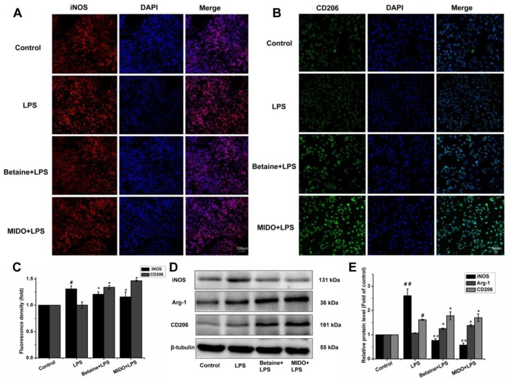 Betaine promoted microglial polarisation to the M2 phenotype in LPS-induced N9 microglial cells. Cells were treated with betaine (1 mM) or MIDO (10 μM) for 1 h and then incubated with or without LPS (1 μg/mL) for 24 h. ( A , B ) Cells were counterstained with anti-iNOS (M1 marker, red) and anti-CD206 (M2 marker, green) antibodies. Nuclei were stained with DAPI (blue), and fluorescence was observed by confocal microscopy. ( C ) Representative images of the fluorescence intensity of iNOS and CD206 with or without LPS treatment. ( D , E ) Expression of iNOS, Arg-1, and CD206 proteins was analysed by western blot analysis. MIDO was used as a positive control. Data are presented as the means ± SEM of three independent experiments. The control group included untreated cells. Untreated cells served as a control group. # p