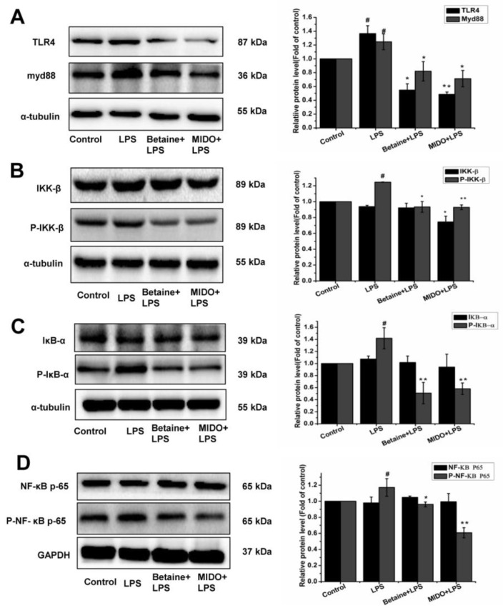 Effects of betaine on LPS-induced TLR4/NF-κΒ signal transduction in N9 microglia cells. Cells were treated with betaine (1 mM) or MIDO (10 μM) for 1 h and then incubated with or without LPS (1 μg/mL) for 24 h. ( A ) Determination of TLR4/Myd88 protein levels by western blot analysis. ( B – D ) Determination of IKK-β, P-IKK-β, IκΒ-α, P-IκΒ-α, NF-κΒ, and p-NF-κΒ protein levels by western blot analysis. MIDO was used as a positive control. Data are presented as the means ± SEM of three independent experiments. The control group included untreated cells. Untreated cells served as a control group. # p