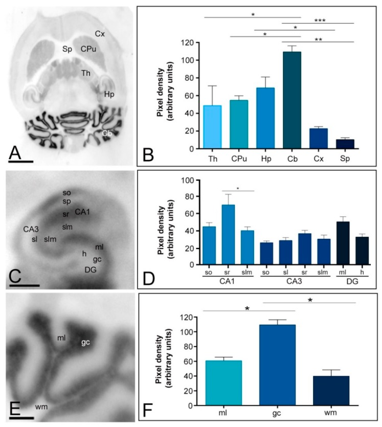 Regional distribution of the Kv4.2 channel in the adult mouse brain. ( A , B ) The distribution of the Kv4.2 protein was visualised in histoblots of horizontal brain sections at P60 using an affinity-purified anti-Kv4.2 antibody. The expression of Kv4.2 in different brain regions was determined by densitometric analysis of the scanned histoblots. The strongest expression was detected in the cerebellum (Cb) and hippocampus (Hp), with moderate expression in the caudate putamen (CPu) and thalamus (Th). Weak expression level was detected in the cortex (Cx) and septum (Sp); ( C , D ) In the hippocampus, very strong Kv4.2 expression was detected in the strata oriens (so) and radiatum (sr) of the CA1 region and the molecular layer (ml) of the dentate gyrus (DG); ( C , D ) Moderate staining was observed in all dendritic layers of CA3, in the stratum lacunosum-moleculare (slm) of the CA1 region and the hilus of the dentate gyrus. Very weak Kv4.2 staining was observed in the stratum pyramidale of the CA1 and CA3 regions and in the granule cell layer of the dentate gyrusso, stratum oriens ; sr, stratum radiatum ; DG, dentate gyrus; h, hilus .; ( E , F ) In the cerebellum, the strongest expression level was detected in the granule cell layer (gc), with weak expression in the molecular layer (ml) and very weak in the white matter (wm). Error bars indicate SEM; * p