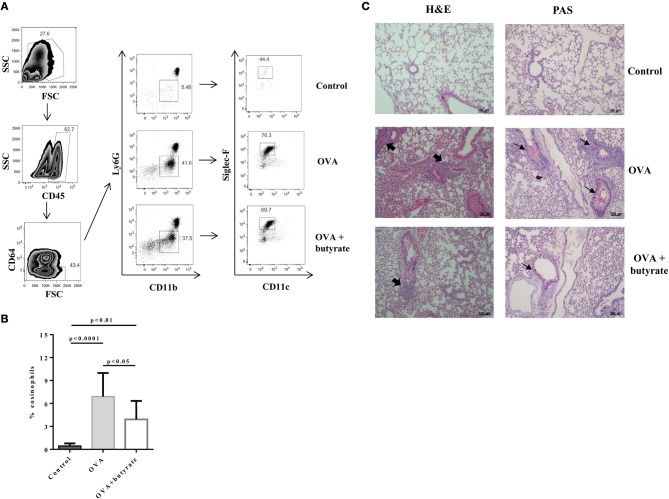 Butyrate treatment protects OVA-challenged mice from lung inflammation. Male C57BL/6 mice were intraperitoneally (IP) injected with OVA (30 μg) + Al(OH)3 (1.6 mg) at days 0 and 7. Mice also received 250 μl of either PBS or butyrate (1 M) (IP) at days 0, 1, 2, 7, 8, and 9. OVA-sensitized mice were nebulized with an OVA solution (3%) for 15 min at days 14, 15, and 16. The group that received butyrate during sensitization was also treated during challenge. A control group was sensitized and challenged without OVA. Euthanasia was performed 24 h after the last challenge. Lungs were digested and cells stained with monoclonal antibodies to determine the frequency of eosinophils (CD45+CD64-Ly6G-CD11b+Siglec-F+CD11c-) by flow cytometry (A) . Bar graph shows the frequency of eosinophils in the different groups (B) . Lung tissues were also stained with hematoxylin/eosin (H E) and periodic acid–Schiff (PAS), scale bars: 100 μm. Thick and thin arrows indicate inflammatory infiltrates and mucus production, respectively (C) . Data are shown as mean ± SD. One-way ANOVA followed by Tukey's multiple comparison test were used for statistical analysis. n = 5–7 mice per group.