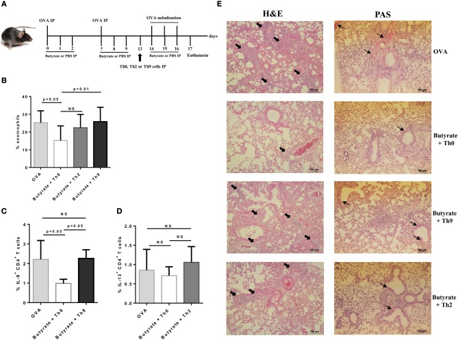 Adoptive transfer of Th9 cells restores lung inflammation in butyrate-treated OVA-challenged mice. Male C57BL/6 mice were intraperitoneally (IP) injected with OVA (30 μg) + Al(OH)3 (1.6 mg) at days 0 and 7. Mice also received 250 μl of either PBS or butyrate (1 M) (IP) at days 0, 1, 2, 7, 8, and 9. OVA-sensitized mice were nebulized with an OVA solution (3%) for 15 min at days 14, 15, and 16. The groups that received butyrate during sensitization were treated during challenge. Butyrate-treated mice also received an adoptive transfer (IP) of OT-II Th0, Th2, or Th9 cells 24 h before challenge initiation. Euthanasia was performed 24 h after the last challenge (A) . Lungs were digested and cells stained with monoclonal antibodies to determine the frequency of eosinophils as shown by the bar graph (B) . Alternatively, cells were stimulated with PMA (50 ng/ml), ionomycin (500 ng/ml), and brefeldin A (5 μg/ml) for 4 h at 37°C and 5% CO 2 , and stained with monoclonal antibodies to determine the frequency of IL-9+CD4+ and IL-13+CD4+ T cells as shown by the bar graphs (C,D) , respectively. Lung tissues were also stained with hematoxylin/eosin (H E) and periodic acid–Schiff (PAS), scale bars: 100 μm. Thick and thin arrows indicate inflammatory infiltrates and mucus production, respectively (E) . Data are shown as mean ± SD. One-way ANOVA followed by Tukey's multiple comparison test were used for statistical analysis. n = 5–7 mice per group. NS, not significant.