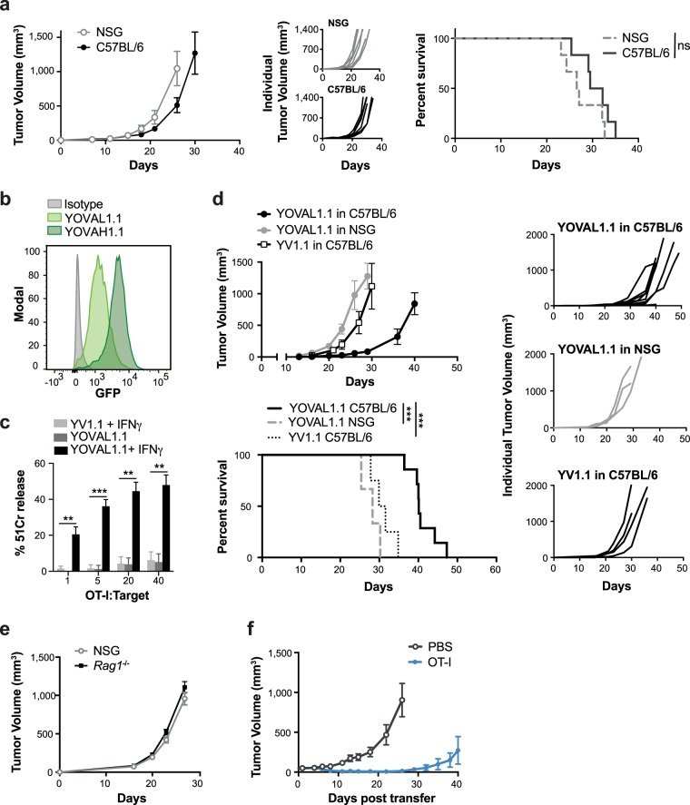 Expression of the immunogen, ovalbumin, in YUMM1.1 tumor cells promotes T cell-mediated tumor control. ( a ) Tumor growth and survival of 3 × 10 5 YUMM1.1 cells in C57BL/6 mice or NSG mice, with survival measured as time for tumors to reach > 1200 mm 3 . ns – not significant, log-rank (Mantel-Cox) test, n = 5–8. ( b ) YUMM1.1-OVA sorted by FACS into low and high GFP-expressing populations; YOVAL1.1 and YOVAH1.1, respectively. ( c ) Killing by OT-I T cells co-cultured for 4 hours at indicated ratios with 51Cr-labelled target cells pre-stimulated +/− IFNγ. One way ANOVA, Tukey's multiple comparisons test, n = 3. ( d ) YOVAL1.1 tumor growth and survival in C57BL/6 mice or NSG mice with survival measured as time for tumors to reach > 1200 mm 3 , log-rank (Mantel-Cox) test, n = 3–5. ( e ) Growth of YOVAL1.1 in NSG or Rag1 −/− mice, n = 3. ( f ) YOVAL1.1 tumor growth and survival following transfer of activated OT-I T cells or PBS. YV1.1 – YUMM1.1 transduced with empty vector. All error bars show ±SEM. **p