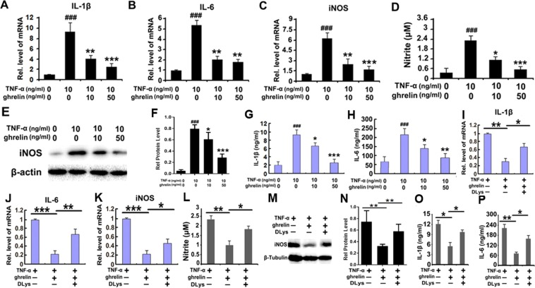 Ghrelin inhibits inflammatory reactions by combining with GHSR1a and antagonizing TNF-α signaling. ( A – C ) Ghrelin greatly inhibited the secretion of inflammatory cytokines, such as IL-1β, IL-6, and iNOS, in vitro in a dose-dependent manner, as shown by real-time PCR. ( D ) Reduced nitrite levels were promoted by the application of ghrelin in a dose-dependent manner, as shown by the Griess experiment. ( E , F ) iNOS expression is downregulated in response to ghrelin application in a dose-dependent manner, as shown by western blotting. ( G , H ) IL-1β and IL-6 secretion were changed by ghrelin pretreatment and appeared to be heightened in proportion to elevations in ghrelin concentration, as shown by ELISA. ( I – K ) The mRNA expression of IL-1β, IL-6 and iNOS was enhanced by application of DLys, implying that DLys antagonizes the effect of ghrelin, as shown by real-time PCR. ( L ) Addition of DLys attenuates ghrelin's effect of decreasing nitrite production, as detected by the Griess test. ( M , N ) Higher iNOS protein levels occurred with DLys application, as shown by western blotting. ( O , P ) Application of DLys inhibited ghrelin's antagonizing effect on the secretion of inflammatory cytokines IL-1β and IL-6 induced by stimulation with TNF-α, as shown by ELISA. (*p