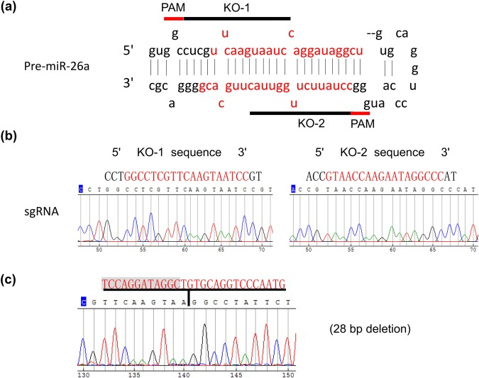 Generation of the miR-26a-knockout line in HeLa cells using the CRISPR-Cas9 system. ( a ) Two sgRNAs were designed for miR-26a depletion by CRISPR DESIGN ( http://crispr.mit.edu/ ). ( b ) The sequencing results showed that the two sgRNAs were appropriately inserted into the <t>lentiCRISPRv2</t> vector. ( c ) The sequencing data revealed that a 28-bp deletion in the target site was introduced by the CRISPR-Cas9 system.