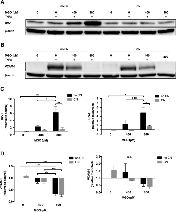 Methylglyoxal increased HO-1 expression, but diminished TNF-α induced VCAM-1 expression. HUVECs were stimulated with different combinations of methylglyoxal (MGO, 0 µM, 400 µM and 800 µM), TNF-α (12.5 ng/ml) and carnosine (CN, 20 mM). Western blotting and qPCR regarding HO-1 and VCAM-1 were performed after protein and RNA isolation. ( A ) HO-1 Western blotting demonstrates dose-dependent increase of HO-1 expression by MGO, which was abrogated by CN. ( B ) VCAM-1 Western blotting shows a clear TNF-α induced increase of the negligible baseline VCAM-1 signal, which was dose-dependently reduced by MGO. Equal protein loading was demonstrated by staining for β-actin. Displayed are the cropped blots. ( A , B ) show two independent experiments. The black surrounding lines demarcate individual blots. The scanned full-length blots are provided in Supplementary Figs 1 and 2 . ( C ) HO-1 densitometry (figure to the left) and gene expression (figure to the right) show a significant and dose dependent increase of HO-1 quantity, which was significantly reversed by CN. Protein and mRNA expression were normalized to β - actin. ( D ) VCAM-1 densitometry (figure to the left) and gene expression (figure to the right) demonstrate a significant, dose-dependent reduction of VCAM-1 by MGO at the protein, but not at the mRNA level. Carnosine did not significantly affect VCAM-1 quantity. Protein and mRNA expression were normalized to β - actin. For C and D data were analyzed using two-way ANOVA followed by Turkey's multiple correction test. A p -value