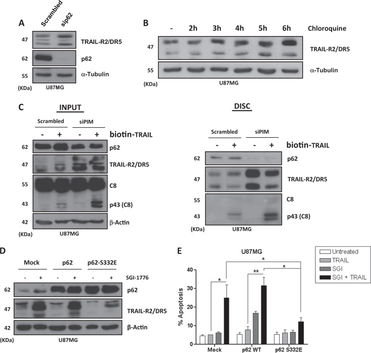 PIM kinases-dependent phosphorylation of p62/SQSTM1 in Ser332 controls TRAIL-R2/DR5 levels in GBM cells. A U87MG cells were transfected with a scrambled oligonucleotide or p62/SQSTM1 small interfering RNAs (siRNAs) for 48 h and then TRAIL-R2/DR5 levels were analyzed by western blot. B Western blot analysis of TRAIL-R2/DR5 levels in U87MG cells treated with chloroquine for the indicated times. C U87MG cells were transfected with the indicated siRNAs for 48 h prior to treatment with biotin-TRAIL (1000 ng/mL) for 90 min. TRAIL DISC was pulled down with streptavidin-agarose beads as indicated in the materials and methods section and proteins associated to DISC were determined by western blot. D U87MG cells were transiently transfected with the indicated plasmids using jetPRIME reagent. After transfection, cells were treated overnight with or without SGI-1776 (5 μM) and protein expression was analyzed by western blot. E U87MG cells were transfected with plasmids p62/SQSTM1 wild-type and p62/SQSTM1 S233E mutant as described. After transfection, cells were treated for 48 h with SGI-1776 (5 μM), TRAIL (500 ng/mL), or both. Apoptosis was determined by flow cytometry