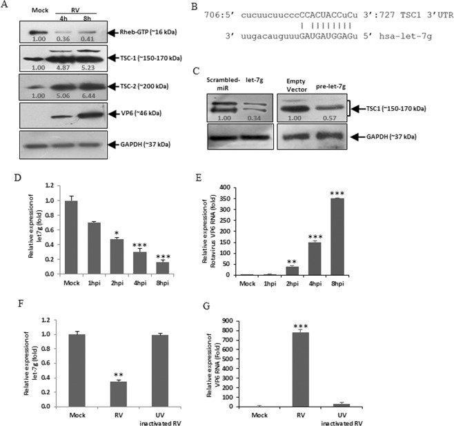 RV infection downregulates let-7g expression. ( A ) HT29 cells were mock treated or infected with RV for indicated time points. Whole cell lysates were prepared, followed by western blot analysis using specific antibodies against Rheb-GTP, TSC1, TSC2, and RV-VP6. The blot was reprobed with an antibody to GAPDH for normalization. ( B ) In silico analysis of the TSC1 3′UTR revealed a single putative let-7g binding site. The let-7g target region of TSC1 (GenBank accession number NM_000368) is indicated. ( C ) HT29 cells were transfected with mimic let-7g (40 nM) (left panel) or pmR-ZsGreen1-pre-let7g (right panel) followed by western blot analysis using specific antibody against TSC1. Relative fold differences of the TSC1 level was analyzed after normalization with GAPDH from at least three independent experiments. ( D ) HT29 cells were mock treated or infected with RV-SA11 for indicated time points. Total RNA from mock- or virus-infected cells was extracted and expression of let-7g was analyzed by qRT-PCR and normalized to the expression of U6 snRNA. ( E ) RV-VP6 RNA level was measured and plotted as relative RNA level in comparison to mock-infected cells. ( F ) Cells were infected with UV inactivated RV-SA11. At 8hpi the total RNA was extracted and the relative expression of let-7g was quantified by qRT-PCR analysis. ( G ) VP6 RNA level was measured as a marker of viral infection in UV-inactivated RV-SA11 infected cells. Results are presented as the means and standard deviations from at least two independent experiments.