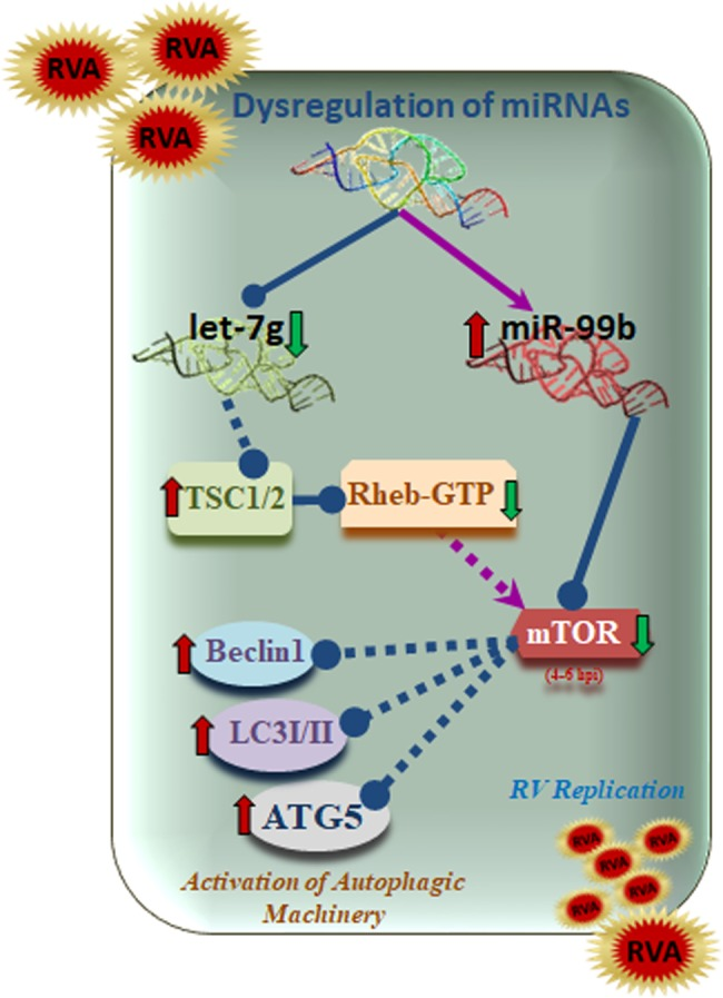 Schematic diagram showing the crosstalk between miR-99b, let-7g, and RV. RV infection downregulates let-7g which in turn elevates TSC1 expression. Inhibition of let-7g also promotes TSC1 mediated suppression of Rheb-GTP expression. On the other hand, RV infection upregulates miR-99b that directly targets mTOR. RV mediated upregulation of miR-99b and suppression of Rheb-GTP leads towards containment of mTOR expression. These results lead towards activation of autophagy mediators during RV infection. Arrows denote upregulation, and blunt arrows denote inhibition.