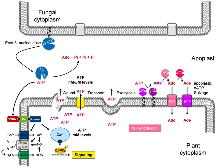 Schematic model showing the potential interference of Si E5′NT with apoplastic eATP signaling and nucleotide salvage pathway in Arabidopsis The schema was modified from Ref. 5 . ENT = equilibrative nucleoside transporters, PAP = purple acid phosphatases, Apy = ectoapyrases or nucleoside triphosphate diphosphohydrolases (NTPDases), NSH = nucleoside hydrolases, 5NT = hypothetical 5′‐nucleotidases, PUP = hypothetical purine permeases.