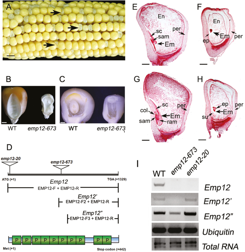 The maize Emp12 gene is involved in embryogenesis and endosperm development. (A) A self-pollinated ear segregating for emp12-673 mutant kernels at 15 days after pollination (DAP). Arrows show the emp maize kernels. Scale bar=0.5 cm. (B) The dried kernels of emp12-673 mutants and the wild type (WT). Scale bar=2 mm. (C) The embryo and endosperm of emp12-673 mutant and WT kernels at 12 DAP. Arrows indicate the embryo (Em). Scale bar=2 mm. (D) Schematic diagram of the Emp12 gene and its protein structure, showing the Mu insertion sites of emp12-673 and emp12-20 . The expression of full-length and partial Emp12 ( Emp12' and Emp12'' ) downstream of the insertion sites was detected by RT–PCR analysis, with the combinations of primers EMP12-F, EMP12-F2, EMP12-F3, and EMP12-R. PPR motifs (P) of EMP12 are predicted by TPRpred ( https://toolkit.tuebingen.mpg.de/#/tools/tprpred ). (E–H) Light microscopy of cytological sections of WT (E, G) and emp12-673 mutant kernels (F, H) are longitudinally sectioned early at 12 DAP (E, F) and late at 16 DAP (G, H). En, endosperm; Em, embryo; per, pericarp; sc, scutellum; su, suspensor; col, coleoptile; ep, embryo proper; sam, shoot apical meristem; ram, root apical meristem. Scale bar=1 mm. (I) RT–PCR analysis of full-length Emp12 and truncated Emp12' and Emp12'' expression indicated in (D) was performed in the emp12-673 and emp12-20 mutants and WT siblings at 12 DAP, with normalization by Ubiquitin primers.