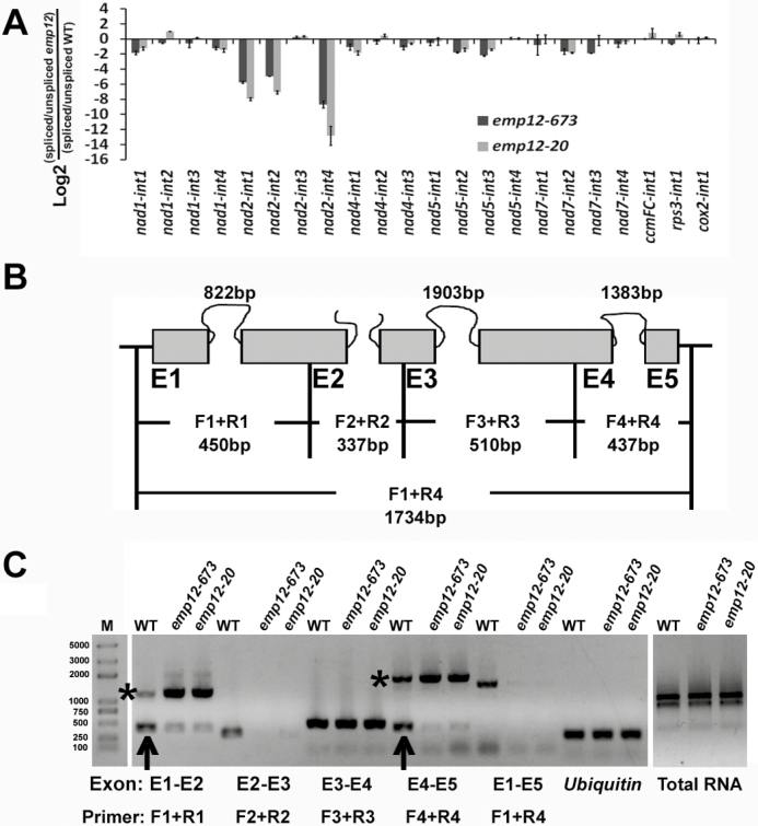 Emp12 is required for intron 1, intron 2, and intron 4 splicing of mitochondrial nad2. (A) qRT-PCR analysis of all group II introns in maize mitochondrial genes. Total RNA was isolated from the emp12-673 and emp12-20 mutant kernels at 12 DAP. Values represent the log2 ratio of spliced to unspliced forms for each transcript in the mutants compared with WT maize kernels. Each value is the mean of at least three biological replicates. (B) Structure of the maize nad2 gene. Exons are shown as filled gray boxes. The closed and open lines stand for cis - and trans -introns. Primers (F1+R1, F2+R2, F3+R3, F4+R4, and F1+R4) indicate the PCR products by using flanking exon–exon primers as described previously ( Xiu et al. , 2016 ). E1–E5, exon1–exon5. (C) RT–PCR analysis of the intron splicing of nad2 introns using exon–exon primers as indicated in (B). Arrows and asterisks indicate the spliced and unspliced PCR products, respectively.