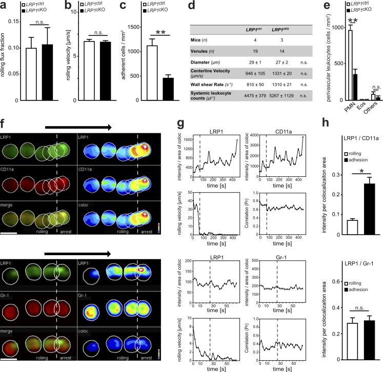 The MK receptor LRP1 is critical for leukocyte recruitment . (a–d) Intravital microscopy of cremaster muscle postcapillary venules of LRP1 ctrl and LRP1 cKO mice 2 h after intrascrotal application of TNFα. n = 18 venules from four LRP1 ctrl mice, n = 14 venules from three LRP1 cKO mice. (a) Leukocyte rolling flux fraction ( LRP1 ctrl , 0.097 ± 0.020 [%]; LRP1 cKO , 0.104 ± 0.032 [%]). (b) Leukocyte rolling velocity including 79 cells from four LRP1 ctrl mice and 71 cells from three LRP1 cKO mice ( LRP1 ctrl , 6.74 ± 0.24 µm/s; LRP1 cKO , 6.66 ± 0.17 µm/s). (c) Number of adherent leukocytes per mm 2 ( LRP1 ctrl , 1122.2 ± 133.2 cells/mm 2 ; LRP1 cKO , 456.0 ± 60.6 cells/mm 2 ). (d) Hemodynamic parameters of investigated vessels. (e) Differential cell counts of perivascular leukocytes as analyzed histologically in cremaster muscle whole mounts after Giemsa staining 2 h after intrascrotal application of TNFα. Eos, eosinophils; Others, lymphocytes, basophils and monocytes; n = 47 venules from four LRP1 ctrl mice, n = 28 from three LRP1 cKO mice (PMN: LRP1 ctrl , 958.3 ± 75.2 cells/mm 2 , LRP1 cKO , 354.1 ± 65 cells/mm 2 ). (f–h) Flow chamber assays with mPMN using spinning disk confocal microscopy after coating with P-selectin, ICAM-1, and CXCL1. (f) The intensity of LRP1 and CD11a as well as LRP1 and Gr-1 expression together with the merged (merge) or colocalized (coloc) intensity of one single representative cell is depicted during rolling and adhesion. Arrows indicate direction of flow. Right panels demonstrate the intensity of LRP1 and CD11a cell surface expression using pseudocolors (heat map). (g) Analysis of the intensity per area of colocalization of LRP1 or CD11a as well as of LRP1 or Gr-1, kinetics of rolling velocity and correlation of colocalization during rolling and adhesion of one representative cell. (h) Mean intensity per area of colocalization of LRP1 and CD11a (rolling, 0.071 ± 0.009 arbitrary units [a.u.]; adhesion, 0.255 ± 0.033 a.u.) as well as of 