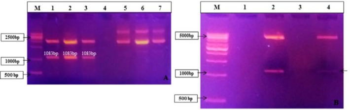 (A) Restriction digestion of confirmed colony PCR positive pZ57R/T mce -whole clones: lane M: 1kb DNA ladder (#SM0313, Fermentas), lanes 1, 2 and 3: Positive clones of PTZ57R/T mce -whole plasmid digested with Bam HI and Hin dIII enzymes; Lanes 5, 6 and 7: Plasmid isolated of positive PTZ57R/T mce -whole clones. (B) Restriction Digestion of confirmed colony PCR positive pET28a mce -whole clones; lane M: 1kb DNA ladder (#SM0313, Fermentas),lanes 2 and 4: Positive clones of pET28a mce -whole plasmid.