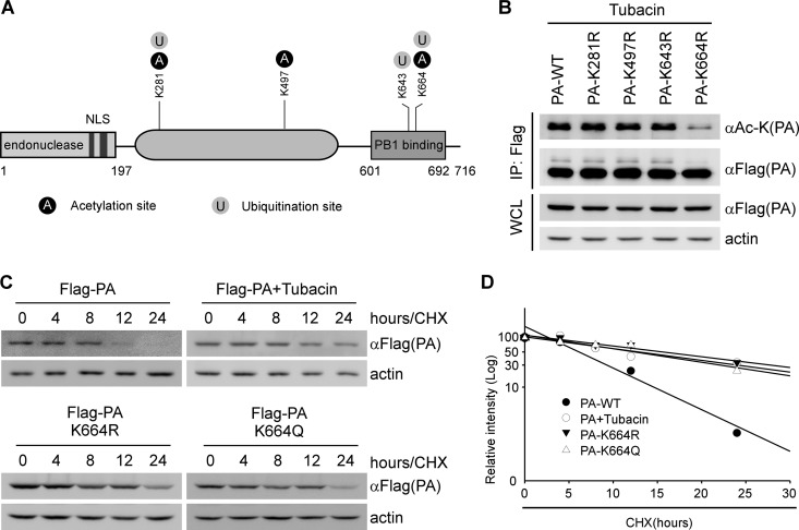 HDAC6 mediates the deacetylation of PA at Lys(664). (A) Schematic diagram of PA modification. NLS, nuclear localization signal. (B) 293T cells were transfected with Flag-PA or its acetylation dead mutants as indicated and then treated with <t>tubacin</t> (10 μM) for 17 h. Flag antibody was used to immunoprecipitate the wild type or acetylation dead mutants of Flag-PA, which were then analyzed by immunoblotting with the indicated antibodies. WCL, whole-cell lysates. (C) 293T cells were transfected with the indicated plasmids, followed by tubacin or DMSO treatment for 17 h. The cells were then treated with <t>CHX</t> (10 μg/ml) at the indicated time points. PA and actin were detected by immunoblotting with the indicated antibodies. (D) Calculated relative half-lives of PA, PA-K664R, and PA-K664Q, using the data from panel C. The percent intensity (log 10 ) was plotted versus time.
