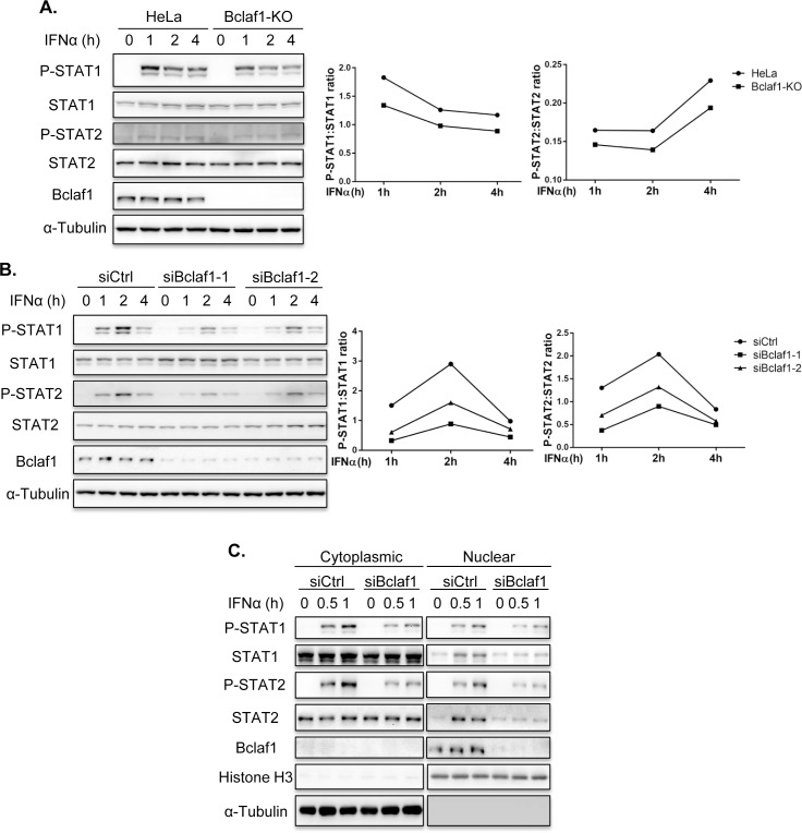 Loss of Bclaf1 attenuates IFNα-mediated STAT1/STAT2 phosphorylation. (A) IB analysis of phosphorylated(P)-STAT1, P-STAT2, STAT1, STAT2 and Bclaf1 in HeLa WT and HeLa Bclaf1-KO cells treated with human IFNα (500U/mL) for the indicated time. Data were quantified and shown as the ratio of P-STAT1 to STAT1 and P-STAT2 to STAT2. (B) IB analysis of P-STAT1, P-STAT2, STAT1, STAT2 and Bclaf1 in HEp-2 cells transfected with si-control or si-Bclaf1 followed by PBS or human IFNα (500U/mL) treatment for the indicated time. Data were quantified and shown as the ratio of P-STAT1 to STAT1 and P-STAT2 to STAT2. (C) IB analysis of P-STAT1, P-STAT2, STAT1, STAT2 and Bclaf1 in cytoplasmic and nuclear extracts of HEp-2 cells transfected with si-control or si-Bclaf1 followed by PBS or human IFNα (500U/mL) treatment for the indicated time. α-Tubulin and Histone H3 were used as the cytoplasmic and nuclear controls, respectively.