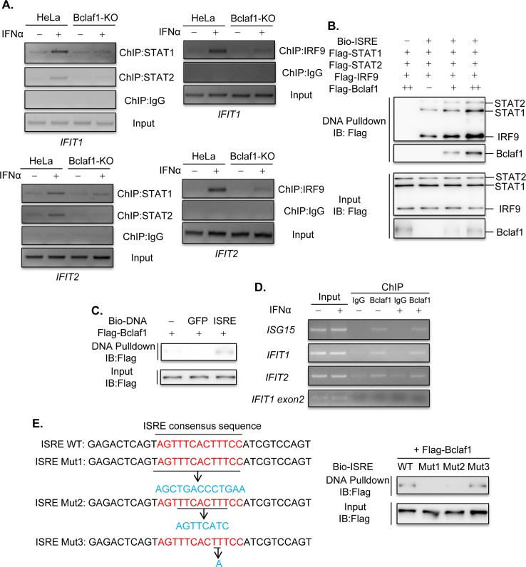Bclaf1 binds with ISRE and promotes the association of ISGF3 with DNA. (A) ChIP analysis of STAT1/STAT2/IRF9 DNA-binding in promoters of IFIT1 and IFIT2 in HeLa WT and HeLa Bclaf1-KO cells simulated with PBS or human IFNα (500U/mL) for 1h. (B) IB analysis of Bio-ISRE pull-down STAT1, STAT2, IRF9 and Bclaf1. Unlabeled ISRE was used for control. (C) IB analysis of ISRE-binding Bclaf1. Unlabeled ISRE and Bio-GFP were used for control. (D) ChIP analysis of Bclaf1 DNA-binding in promoters of ISG15 , IFIT1 and IFIT2 in HeLa cells simulated with PBS or human IFNα (500U/mL) for 1h. An amplicon located in IFIT1 exon2 was also tested for control. (E) IB analysis of WT or mutated (1–3) Bio-ISRE pull-down Bclaf1.